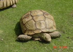 adult three toed box turtle