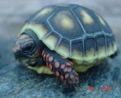 Redfoot Tortoise Photos